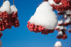 Branches mountain ash covered with snow and pieces of ice on blue sky background. Closeup Stock Images