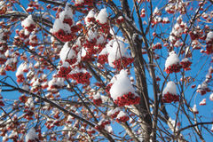 Branches mountain ash covered with snow and pieces of ice. Sunny blue sky Royalty Free Stock Images