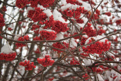 Branches mountain ash covered with snow in winter forest. Branches mountain ash covered with snow in beautiful winter forest Royalty Free Stock Image