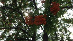 Branches of a mountain ash fluttering in the wind. Red ripe rowan berries on a tree with green leaves stock video