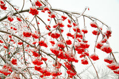 Branches of mountain ash Royalty Free Stock Photo