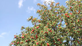 Branches of mountain ash red stock video