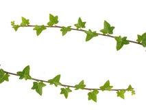 branches murgröna två Arkivfoto