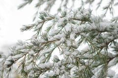 Branches and needles of a Cedar of Lebanon tree Cedrus libani under a layer of snow. royalty free stock photos