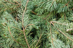Branches and needles from a pine tree Stock Photos