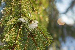 Branches and needles of spruce covered with snow in the winter forest in Finland stock image