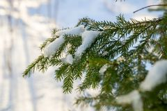 Branches and needles of spruce covered with snow in the winter forest in Finland stock images