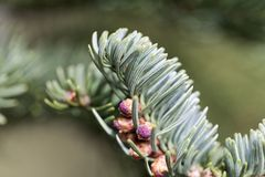 Branches of a noble fir Abies procera in spring. Fresh branches of a noble fir Abies procera in spring Stock Photography