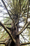 Branches of a Norway spruce Picea abies mutant Royalty Free Stock Photos