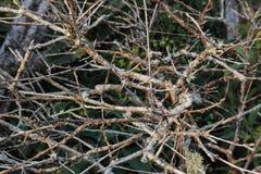 Branches noueuses avec de la mousse de Restinga Image stock