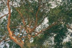 Branches noueuses de pin empêtrées tout autour de vous images stock