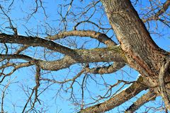Branches of the oak Royalty Free Stock Image