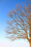 Branches of the oak Royalty Free Stock Photos