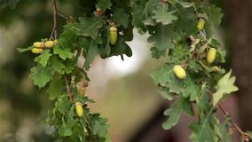 Branches an oak with acorns against the house stock video footage