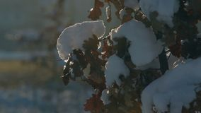 Branches with oak leaves are covered with a snow cap. Backlight. Snowing. Still shot stock video footage