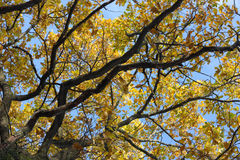 Branches of oak-tree stock photography