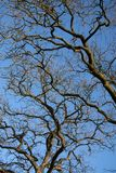 Branches of an oak tree against a blue sky Stock Photos
