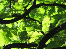 Branches of oak tree Royalty Free Stock Photography