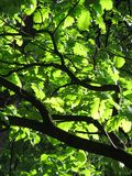 Branches of oak tree Stock Image