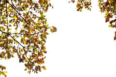 The branches of the oak with yellow and brown leaves in the autumn Park on an isolated white background Stock Photos