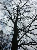 branches oaken Royaltyfria Foton