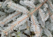 Branches Of A Young Fur-tree Royalty Free Stock Photos