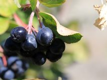 Branches Of Aronia Stock Image