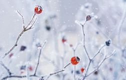 Branches Of Wild Rose Hips With Red Berries Covered With Hoarfrost In The Winter Garden. Shallow Depth Of Field Royalty Free Stock Image
