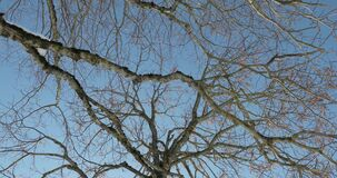 Branches of an old tree against a blue sky.  stock video footage