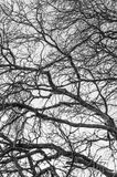 The branches of an old tree. Old tree and dry branches in black and white Royalty Free Stock Images
