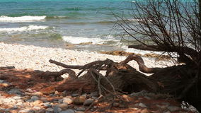 The branches of an old tree. Growing near the sea stock video