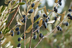 Branches of an olive tree Royalty Free Stock Images