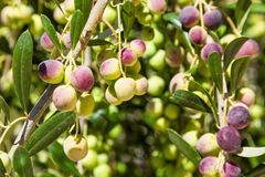 Branches of an olive tree Stock Images