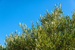 Branches of an olive tree against the blue sky royalty free stock photo