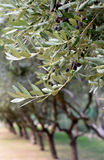 Branches of the olive tree with black olives on a background of olive groves Royalty Free Stock Image