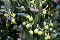 Branches With Olives Stock Photography