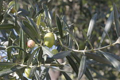 Branches of olives Royalty Free Stock Images
