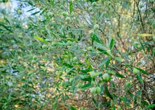 Branches of olives Royalty Free Stock Image