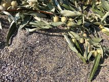 Branches of olives on the sea sand stock image