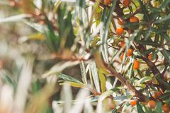 Branches with orange ripe berries of seabuckthorn.  Stock Photo