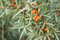 Branches with orange ripe berries of seabuckthorn.  Stock Image