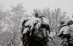 Branches of palm and other trees ricpoprti snow Stock Photography