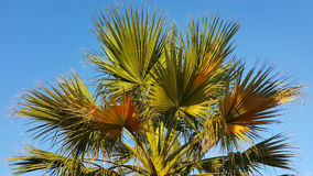 Branches of palm tree Royalty Free Stock Image