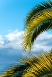 Branches of palm tree on a background of blue sky Stock Photos