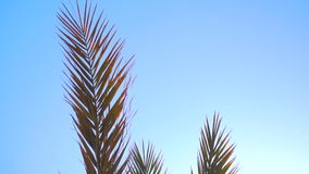 Branches of Palm trees against the blue sky and sunlight. Large branches of Palm trees against the blue sky and sunlight stock video