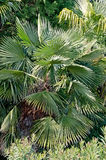 Branches of palm trees Royalty Free Stock Photos