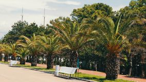 Branches of palm trees that grow on the embankment of Georgian city of Batumi stock video