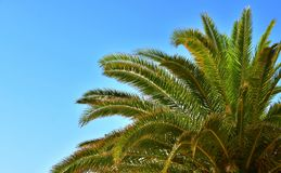 Branches of palms under blue sky. Detail of palm tree leaves against bright, summer blue sky. Evergreen plant. With copy space Stock Images