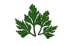 Branches of parsley illustration Stock Photo