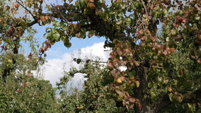 Branches of a pear tree. A perspective with branches of a pear tree Stock Image